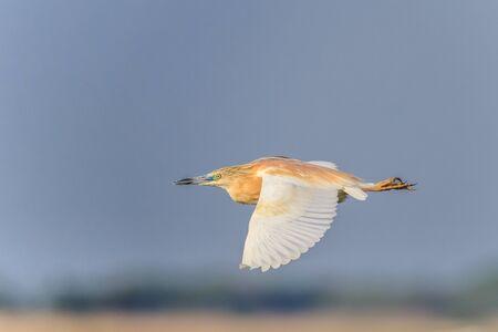danube delta: Squacco Heron (Ardeola ralloides)  in flight. Danube Delta, Romania
