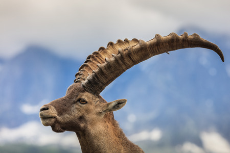 Closeup male Alpine ibex (Capra ibex) in the mountains of the Alps. Mont Blanc, France