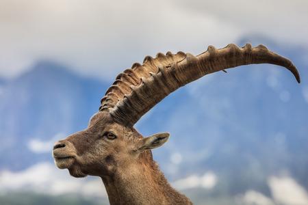 Nahaufnahme männlich Alpine ibex (Capra ibex) in den Bergen der Alpen. Mont Blanc, Frankreich Standard-Bild - 63752787
