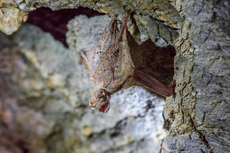 echolocation: Small bat hanging on the wall of the cave. Romania