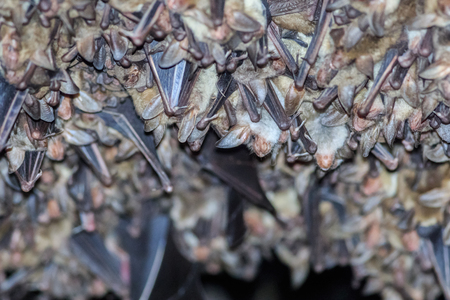 membranes: Groups of sleeping bats in cave. Romania