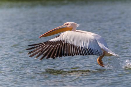 white pelican (pelecanus onocrotalus) in flight in Danube Delta, Romania Stock Photo