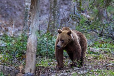 wild bear in the Fagaras Mountains, Romania
