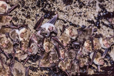 echolocation: Groups of sleeping bats in cave. Romania