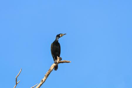 cormorant in a tree on blue sky background. Location: Danube Delta , Romania Stock Photo