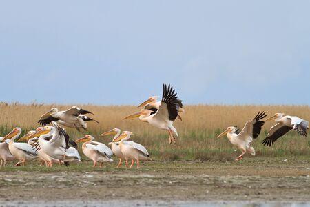 danube: white pelicans (pelecanus onocrotalus) in Danube Delta, Romania