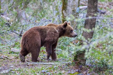 wild bear in Fagaras Mountains, Romania
