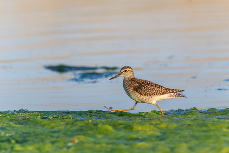 delta: black tailed godwit in Danube Delta, Romania Stock Photo