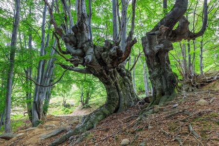 beech forest in the Valcan Mountains, Romania