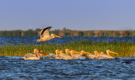 Landscape photo of white pelicans in Danube Delta, Romania 免版税图像