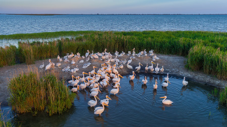 white pelicans (pelecanus onocrotalus) in Danube Delta Romania. Aerial view with drone.