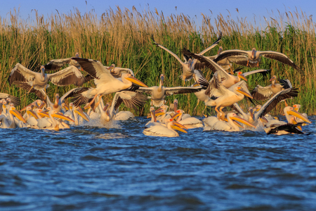 Landscape photo of white pelicans in Danube Delta, Romania Reklamní fotografie