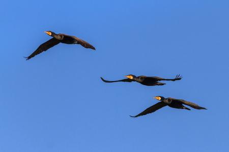 cormorants (phalacrocorax carbo ) in flight in Danube Delta, Romania