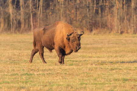 european bison in the forest. Bucsani Romania