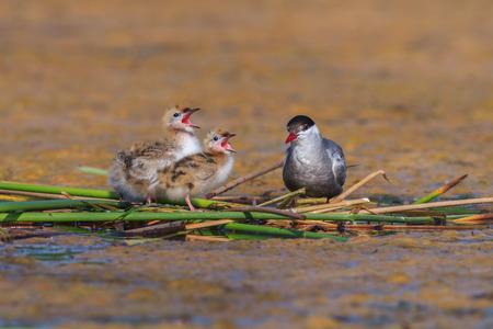 common reed: common tern (sterna hirundo) and baby bird