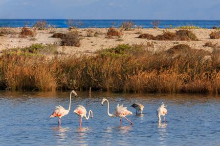 pink flamingos walking through the water. Lefkada, Greece