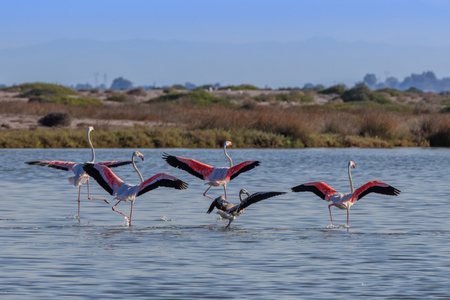 pink flamingos in flight . Lefkada island, Greece