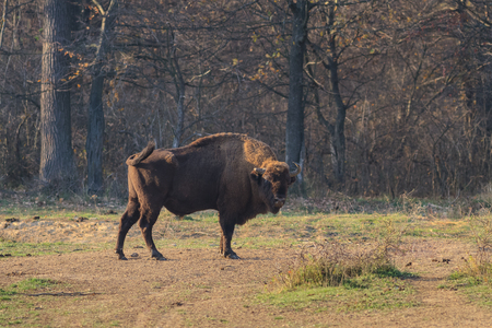 European bison in the forest. Bucsani Romania 스톡 콘텐츠