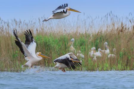 white pelicans (pelecanus onocrotalus). Danube Delta, Romania