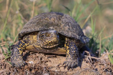 European bog turtle (emys orbicularis). Danube Delta, Romania