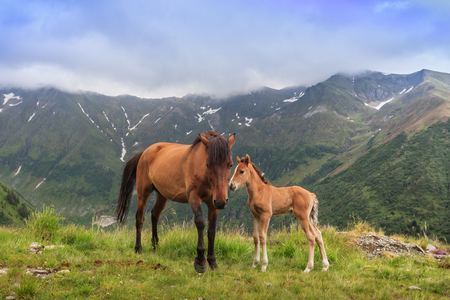 horses grazing in the mountain valley. Fagaras Mountain, Romania Stok Fotoğraf