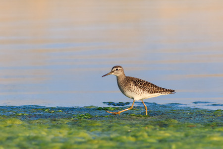 black tailed godwit in Danube Delta, Romania 스톡 콘텐츠