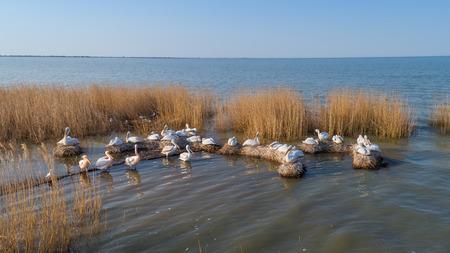 dalmatian pelicans (pelecanus crispus) in Danube Delta Romania. Aerial view with drone.