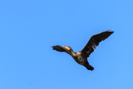 cormorant (phalacrocorax carbo ) in flight in Danube Delta, Romania
