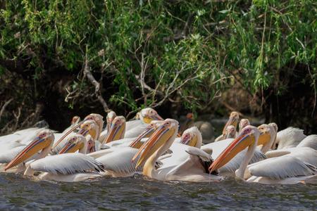 white pelicans (pelecanus onocrotalus) in Danube Delta, Romania