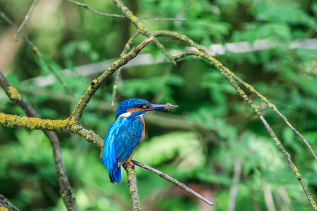 kingfisher (alcedo atthis) in natural habitat. Danube Delta, Romania