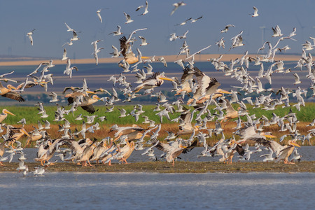 white pelicans and seagulls in flight. Danube Delta, Romania