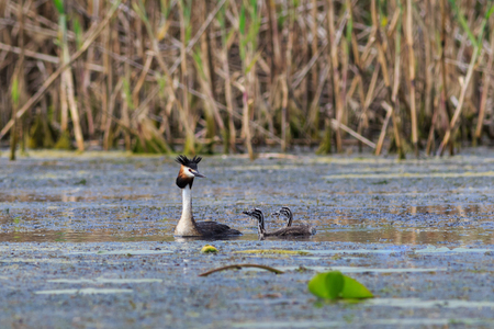 Great crested grebe adult and young birds in Danube Delta, Romania