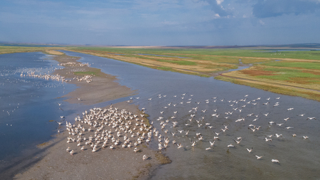 colony of pelicans in the Danube Delta, Romania