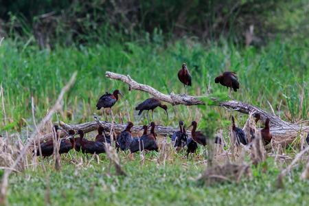glossy ibis ( plegadis falcinellus ) in natural habitat. Danube Delta, Romania