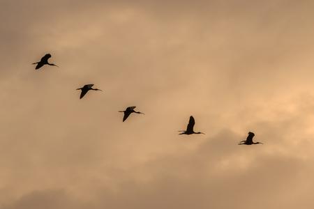 glossy ibis ( plegadis falcinellus in flight. Danube Delta, Romania Imagens
