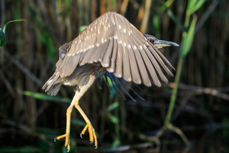 juvenile of black crowned night heron in flight. Danube Delta, Romania
