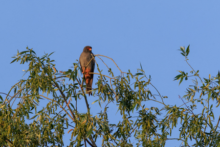 red footed falcon in the tree. Danube Delta, Romania Stok Fotoğraf