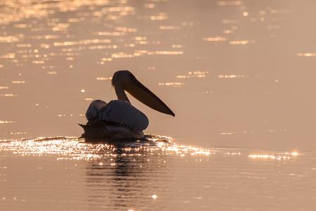 white pelican (pelecanus onocrotalus) in Danube Delta, Romania