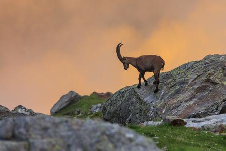 Alpine ibex (Capra ibex) in Mont Blanc, France 免版税图像