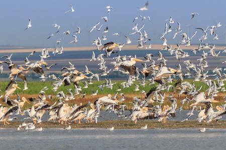 white pelicans and seagulls in flight. Danube Delta, Romania