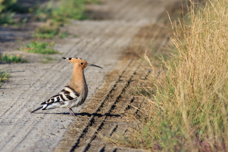 eurasian hoopoe bird in Danube Delta, Romania