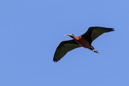 glossy ibis ( plegadis falcinellus ) in flight. Danube Delta, Romania Imagens