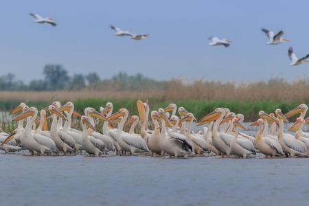 weiße Pelikane (pelecanus onocrotalus) im Donaudelta, Rumänien Standard-Bild