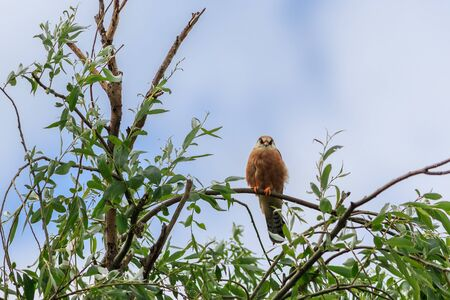 the female red footed falcon in Danube Delta, Romania