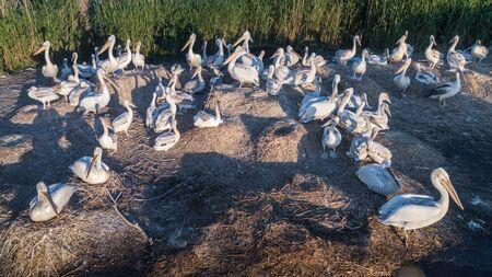 dalmatian pelicans (pelecanus crispus) in  Danube Delta, Romania Фото со стока