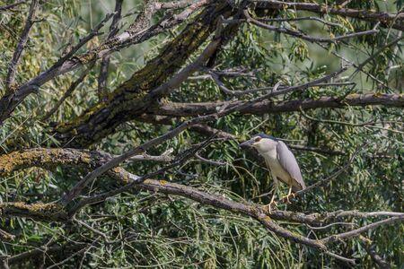 black crowned night heron in tree. Danube Delta Romania