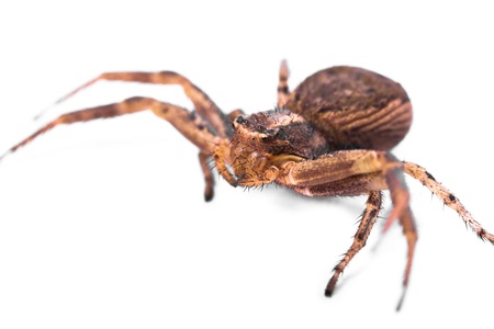 Macro of a Brown Spider isolated on a white background.