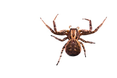Macro of a Brown Spider isolated on a white background. Copyspace on left Stock Photo - 19047621