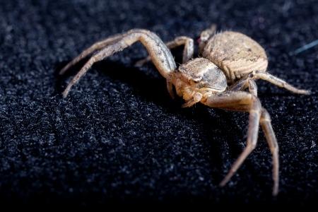 Macro of a Brown Spider on black velvet Stock Photo