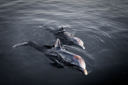 Two playful dolphins at dawn in gray water. Artistic shot photo